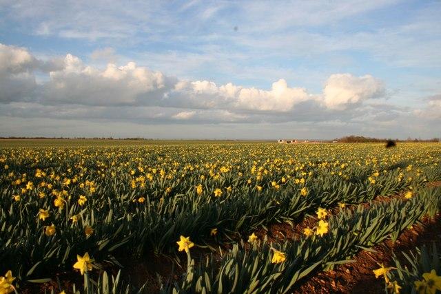 Daffodils on Nocton Heath