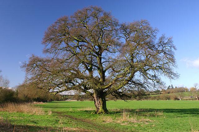 Oak Tree near Northway