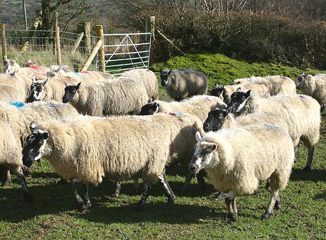 Flock of Sheep near Llanwrtyd Wells