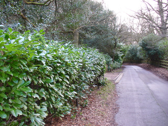 Rhododendron-lined Lane, Wishanger