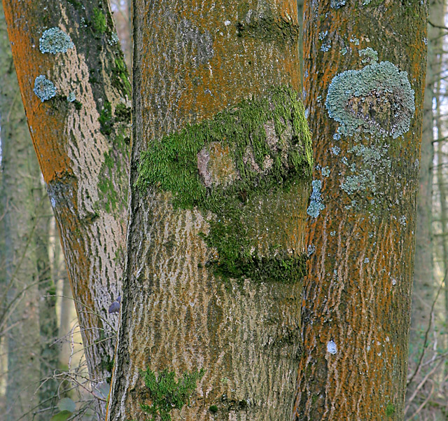 Moss and Lichen on a tree in Furzedown (wood)