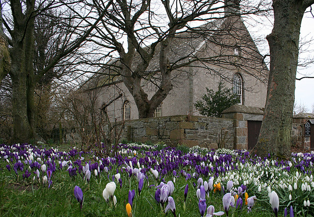 A profusion of crocuses by Fordyce Church of Scotland.