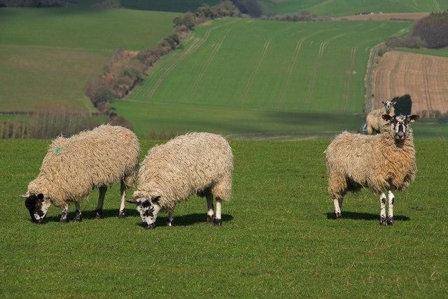 Sheep graze Elcombe Down