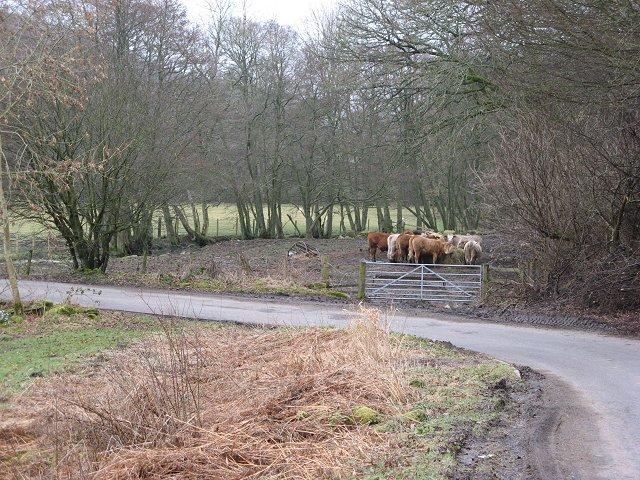 Cattle, Millhaugh