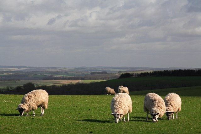 Sheep graze at South Downs, Ox drove.