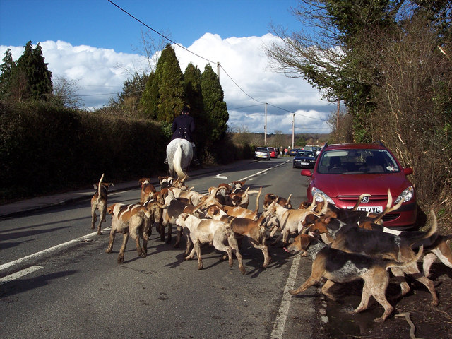 The hounds stream on to the road near Lower Horncroft