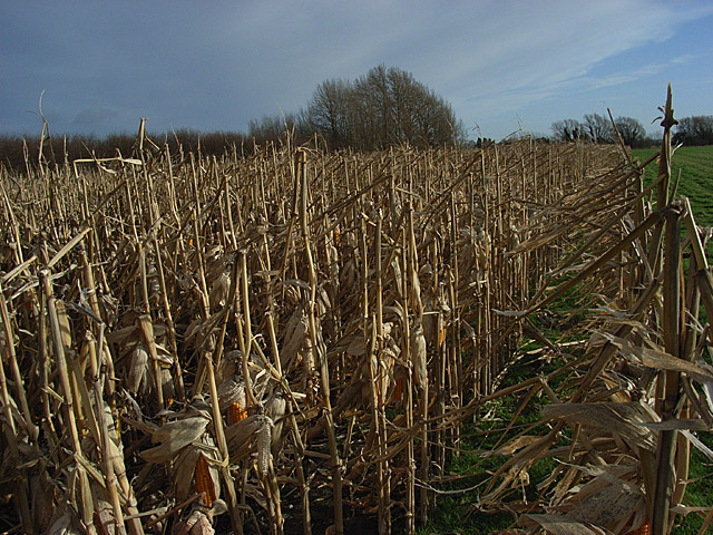 Maize near South Farm