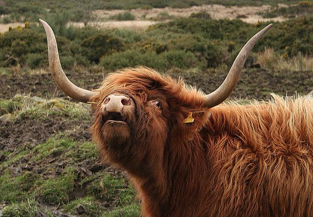 Blackhills Highland cow