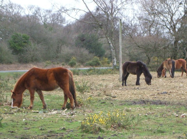 Grazing Ponies at Hill Top