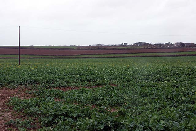 A cabbage field.