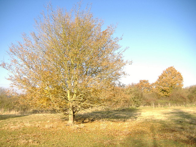 Field Maple, Chigborough Lakes nature reserve