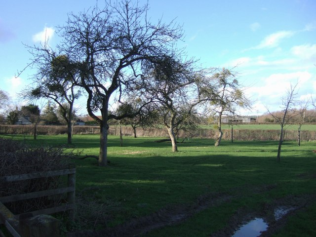 Orchard at Curry Mallet