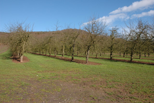 Apple orchard, Bunn's Lane Farm
