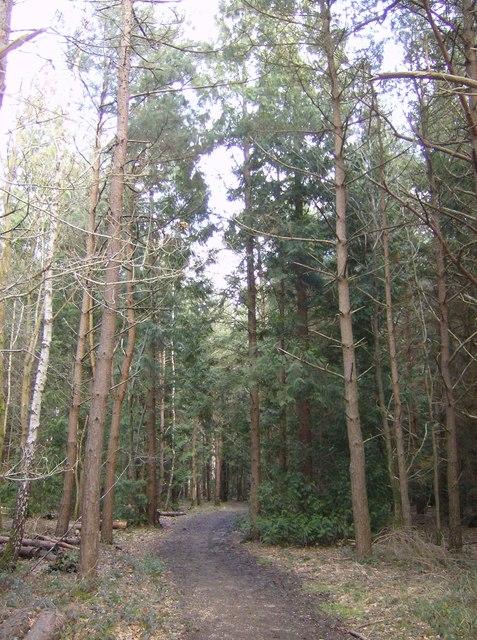 Southern spruce