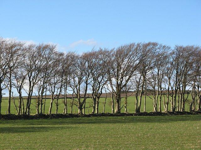 Line of beeches, Blackburn