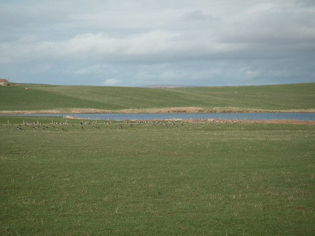 Geese in a grass field