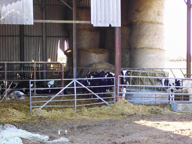 Calves in barn, north of Bishopstone, Swindon