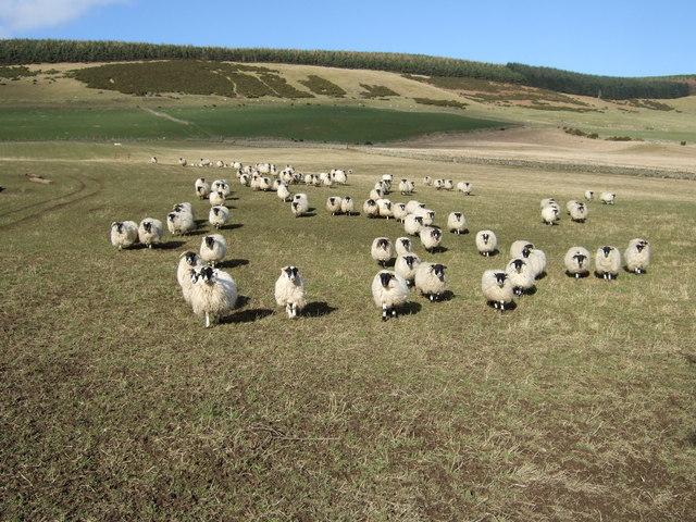 Wool on the hoof