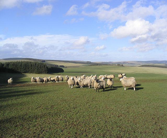 Sheep near New Kittyflat