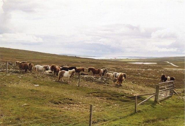 Ponies grazing rough pasture below Caldback Hill, Unst