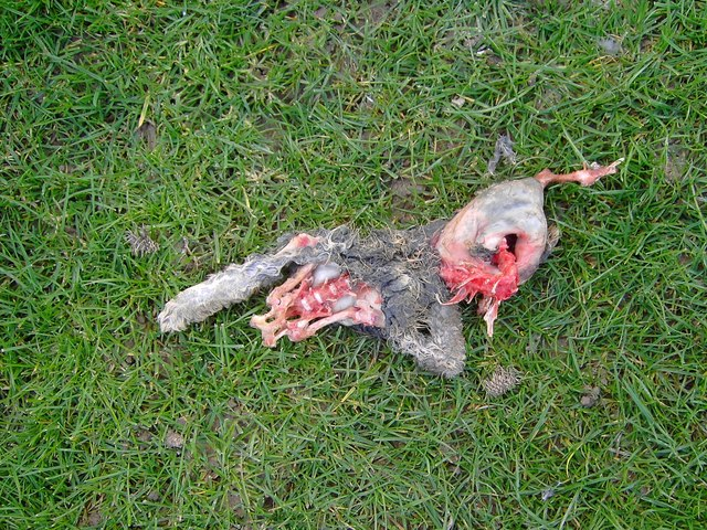Dead rabbit in the field system south of Easton Royal, Wiltshire