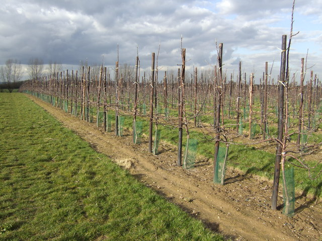 New apple orchard