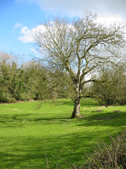 Walnut tree in pasture, Broad Chalke, Wiltshire