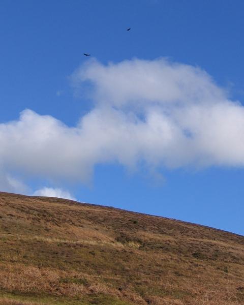 Moorland below Moel y Gamelin and a Pair of Buzzards