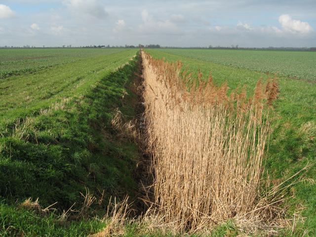 Reedy drain, Lazier Fen, Stretham, Cambs