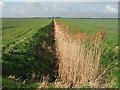 TL4972 : Reedy drain, Lazier Fen, Stretham, Cambs by Rodney Burton