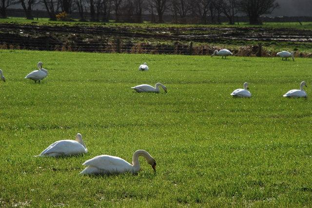 Elyrch - Swans