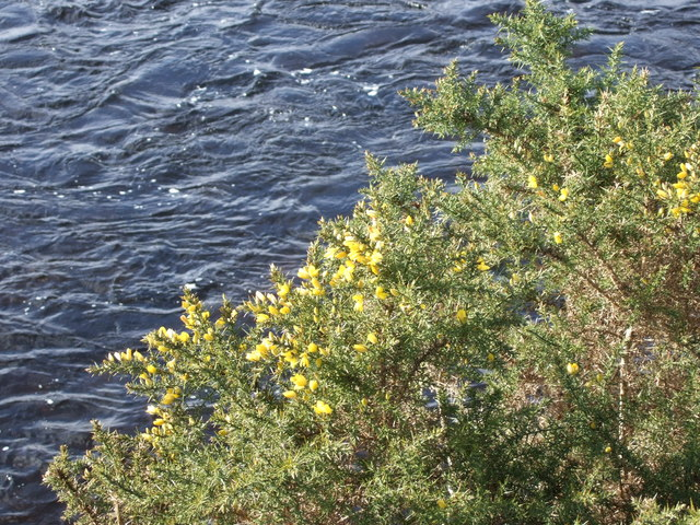 Gorse in bloom by River Dee