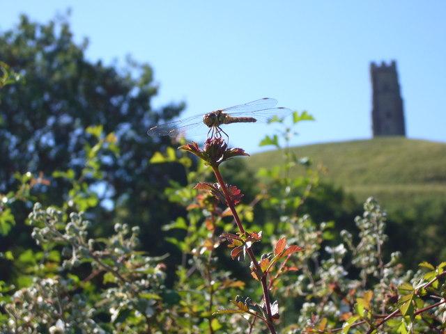 Dragonfly at Glastonbury
