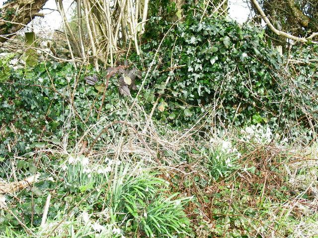 Eirlysiau/Snowdrops on the verge by Ty Newydd, Cae Hywel