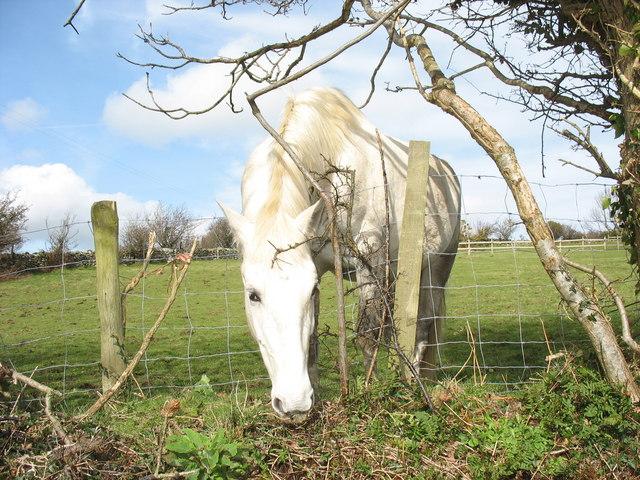 March gwyn/White horse at Cae Hywel
