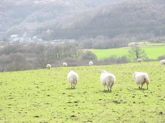 Sheep opposite Tai Croesion