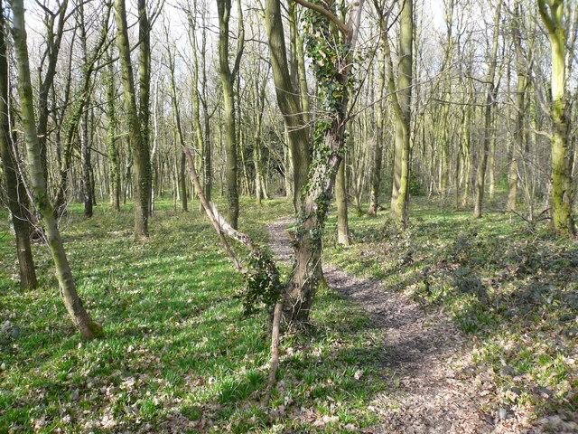 Hardwick Wood - Footpath leading to yew tree
