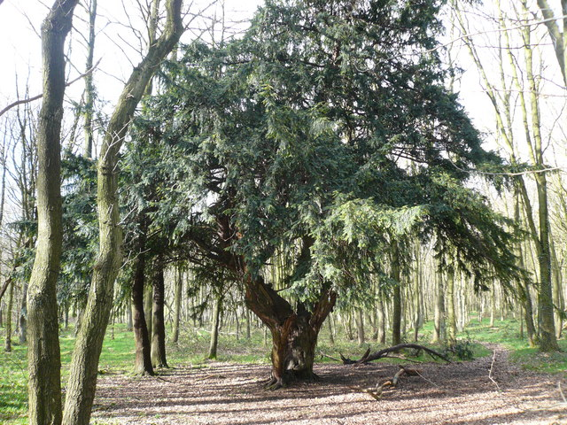 Hardwick Wood - yew tree