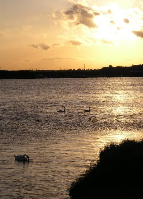 Swans at sunset, Cliffe