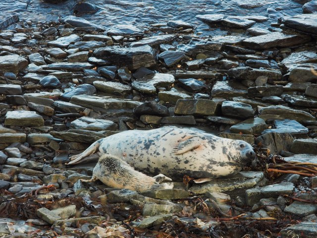 Atlantic Grey Seal with pup on Hen of Gairsay shore
