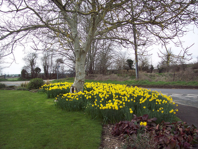 Daffodil corner, Bishopstone