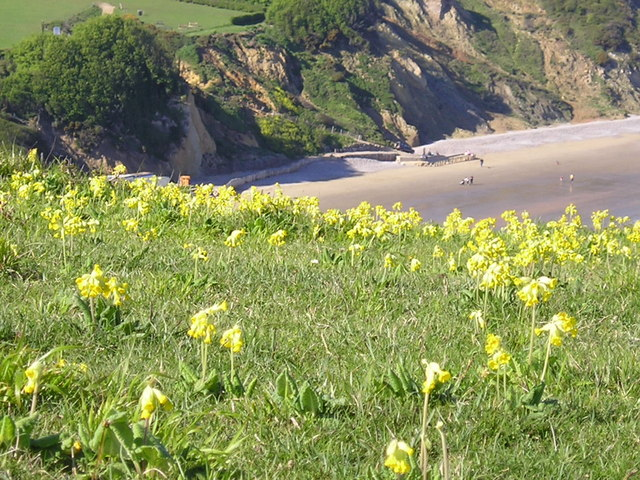 Cowslips on Culver Down
