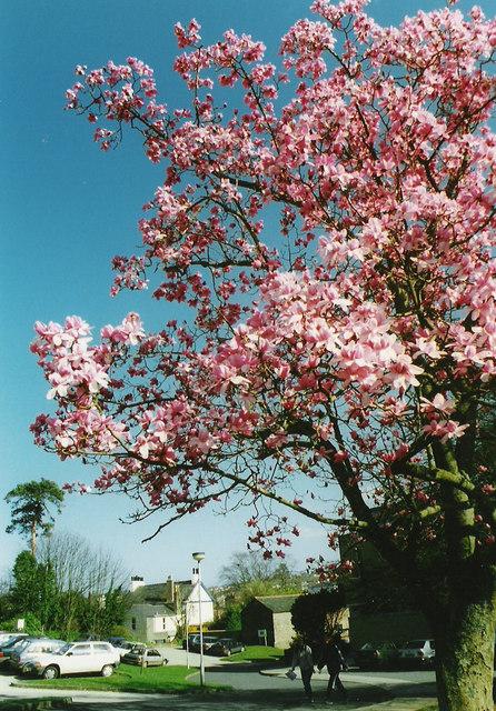 Magnolia tree former South Devon College grounds