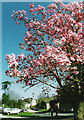 SX9064 : Magnolia tree former South Devon College grounds by Tom Jolliffe