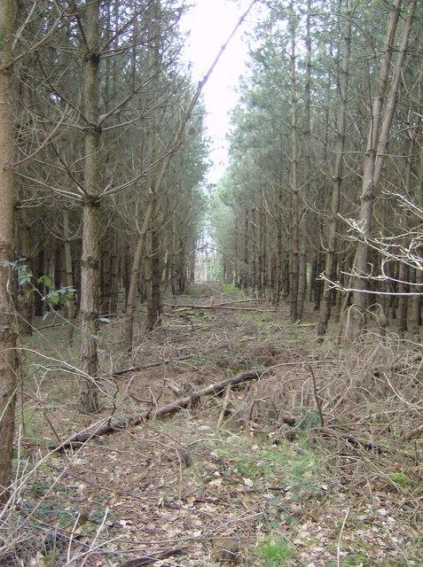 Plantation in Greathouse Wood