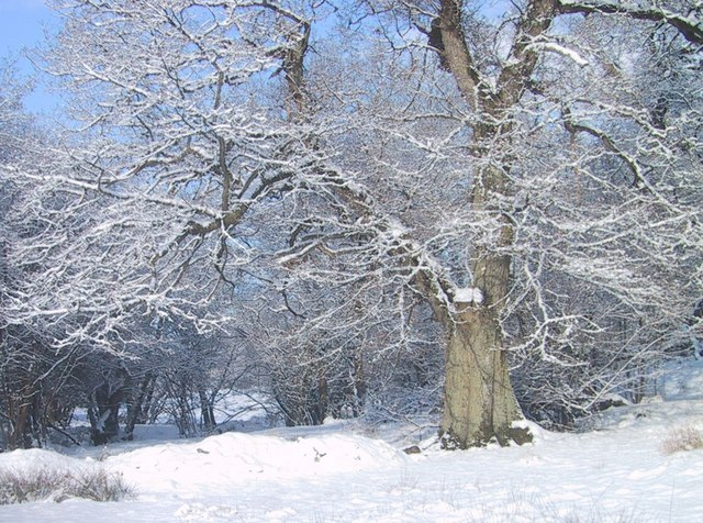 Old Oak in Snow