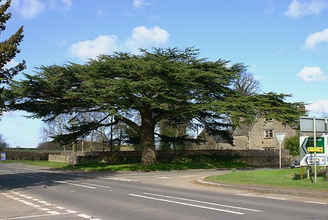 Cedar of Lebanon at Kiddington