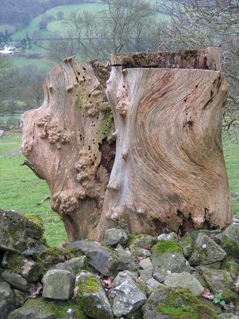 Old Tree Stump by Offas Dyke LDP