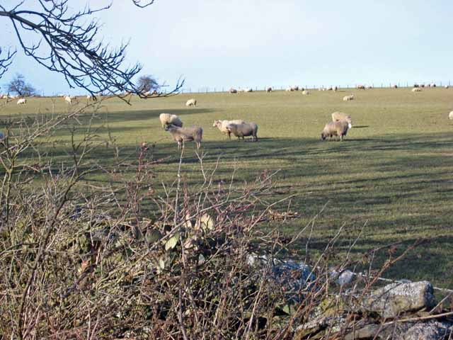 Sheep seen from Longedge Lane