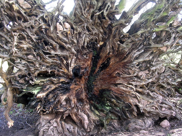 Uprooted tree, Sugwas Court